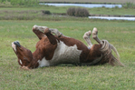 Assateague Pony/Equus caballus rolling in grass