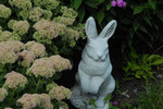 Bunny statue in garden with sedum spectabile.