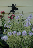 Fairy silhouette in garden of phlox paniculata.