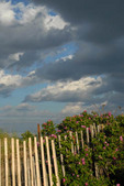 Storm clouds over beach dunes w/ snow fence and rosa rugosa in bloom.