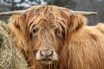 Vermont, VT, USA, winter, scottish highland cattle, cow