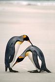 Courtship Dance, King Penguins, Falkland Islands