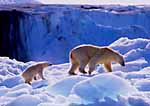 Mother polar bear and cub on Pack Ice, Leifdefjord, Spitsbergen Island. Svalbard Archipelago, Arctic Norway