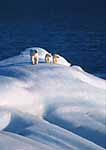Mother Polar Bear and twin cubs on iceberg. Svalbard Archipelago, Arctic Norway.