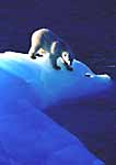 Polar Bear on Blue Ice. Svalbard Archipelago, Arctic Norway.