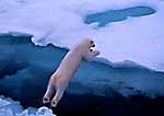 The Big Leap -- Polar Bear jumps between Ice-Floes. Svalbard Archipelago, Arctic Norway.