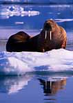 Mother Walrus and calf on Ice-floe. Svalbard Archipelago, Arctic Norway.