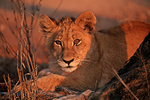 Lion cub (Panthera leo), captive animal, Tshukudu Reserve, near Kruger National Park, South Africa