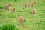 Cheetah family (Acinonyx jubatus), Tanzania, Africa, Serengeti National Park