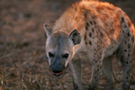 Spotted hyena (Crocuta crocuta), Kruger National Park, South Africa