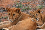 Lion cubs (Panthera leo), captive animals, Tshukudu Reserve near Kruger National Park, South Africa
