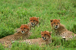 Cheetah family (Acinonyx jubatus), Serengeti National Park, Tanzania, Africa