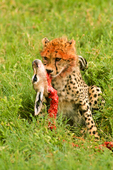 Cheetah cub (Acinonyx jubatus) with kill, Serengeti National Park, Tanzania, Africa