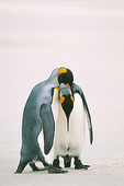 Courtship behavior, King Penguins (Aptenodytes patagonia), Saunders Island, Falkland Islands