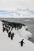 Coming and Going, Chinstrap Penguins (Pygoscelis antarctica), Brown Bluff, Antarctic Peninsula, Antarctica