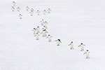 Follow the leader, Adelie Penguins (Pygoscelis Adeliae), Paulet Island, Antarctica