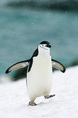 Walking with wings out, Chinstrap Penguin (Pygoscelis antarctica), South Orkney Islands, Antarctica