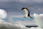 taking flight, Adelie Penguin (Pygoscelis Adeliae), Brown Bluff, Antarctic Peninsula, Antarctica
