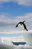 Anticipation, Adelie Penguin (Pygoscelis Adeliae), Brown Bluff, Antarctic Peninsula, Antarctica