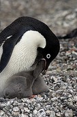 Feeding time, Adelie Penguin (Pygoscelis Adeliae), Brown Bluff, Antarctic Peninsula, Antarctica