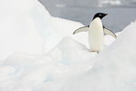 Penguin on ice berg, Adelie Penguin (Pygoscelis Adeliae), Peterman Island, Antarctica