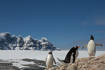 Courtship triangle, Gentoo penguins (Pygoscelis papua), Port Lockroy, Antarctic Peninsula, Antarctica