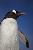 Portrait against blue sky, Gentoo penguin (Pygoscelis papua), Port Lockroy, Antarctic Peninsula, Antarctica