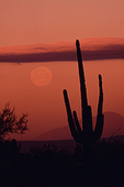 Desert moon and saguaro cactus at sunset, Saguaro National Park, Arizona