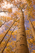 Towering Aspen Trees, Fall Color, Kachina Peaks Wilderness, Coconino National Forest, Arizona
