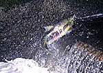 Chum Salmon leaping over low fish ladder during October Migration