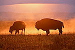 Bison backlit by setting sun; the dust in the air is from bison taking dust baths on the dry sagebrush flats
