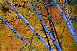 Paper Birches along the Presque Isle River in Porcupine Mountains Wilderness State Park in Michigan's Upper Peninsula, with autumn colors reflecting off the river.