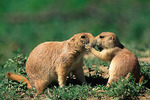 Black-tailed Prairie Dogs (Cynomys ludovicianus) engage in affectionate mutual grooming behavior in Theodore Roosevelt National Park, ND, USA, June, 25,440