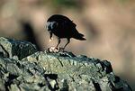 Northwestern Crow feeding on California Mussel (Mytilus californiensiis) at low tide near Tofino, Vancouver Island, British Columbia, Canada, January, 40,870.