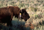 American Bison research subject on prairie at Mormon Flats, Grand Teton National Park, Wyoming, USA, 41,043.