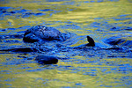 American Dipper in Quinault River at Graves Creek Campground, Olympic National Park, Olympic Peninsula, Washington, USA, 41,078.