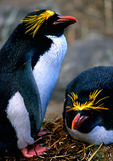 Macaroni Penguin pair at nest among tussocks on South Georgia Island near the continent of Antarctica, December.