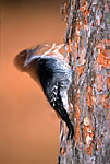Female Black-backed Woodpecker (Picoides arcticus) feeding on a dying Red Pine (Pinus resinosa), Imp Lake National Forest Campground, Ottawa National Forest, Upper Peninsula, Michigan, USA, October, 42,421.