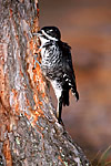 Black-backed Woodpecker (Picoides arcticus) female feeding on dying Red Pine (Pinus resinosa), Imp Lake National Forest Campground, Ottawa National Forest, Upper Peninsula, Michigan, USA, October, 42,435.
