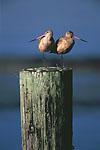 Marbled Godwits (Limosa fedoa) in winter plumage, each balancing on one leg, sharing a space on a harbor post, Tokeland Marina, Tokeland, Washington, USA, October, 42,621.