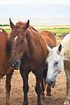 Horses at Fielding Garr Ranch, Antelope Island State Park in the Great Salt Lake, Utah, USA, August, 2008_UT_4408