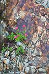 Rosy Spiraea aka Subalpine Spiraea aka Rose Meadowsweet (Spiraea splendens) near blooming in upper McCall Basin, Goat Rocks Wilderness, Gifford Pinchot National Forest, Washington State, USA, September, 2008_WA_1269