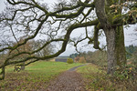 Oregon White Oak (Quercus garryana) on the Oaks to Wetlands Trail, November, 2008_WA_1591