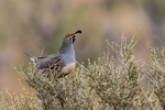 Gambel's Quail, Callipepla gambelii, perched on sagebrush in City of Rocks State Park, located between Silver City and Deming in the Chihuahuan Desert, New Mexico, USA