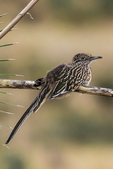 Greater Roadrunner, Geococcyx californianus, perched on dried yucca flowering stalk in City of Rocks State Park, located between Silver City and Deming in the Chihuahuan Desert, New Mexico, USA