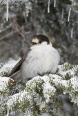 Gray Jay (Perisoreus canadensis) perched on a branch during a snowstorm on Hurricane Ridge, Olympic National Park, Olympic Peninsula, Washington, USA, March, 2009_WA_8069