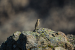 American Pipit, Anthus rubescens, perched atop rock in alpine tundra along the Ptarmigan Ridge Trail, Mount Baker-Snoqualmie National Forest in the North Cascades, Washington State, USA