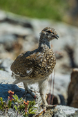 White-tailed Ptarmigan, Lagopus leucura, showing feathered toes in alpine tundra habitat along the aptly named Ptarmigan Ridge near Mt. Baker, Mount Baker-Snoqualmie National Forest in the North Cascades, Washington State, USA