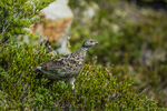 White-tailed Ptarmigan, Lagopus leucura, foraging in a heather meadow in alpine tundra habitat along the aptly named Ptarmigan Ridge near Mt. Baker, Mount Baker-Snoqualmie National Forest in the North Cascades, Washington State, USA