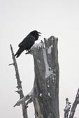 Common Raven (Corvus corax) calling from a dead tree on Hurricane Ridge, Olympic National Park, Olympic Peninsula, Washington, USA, March, 2009_WA_8152